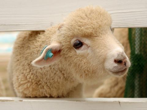2015年 羊年