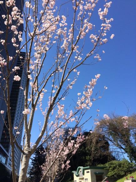 20150327外堀桜