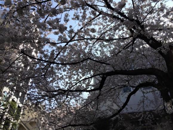 文京区 湯島小学校 桜 満開