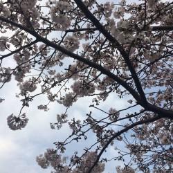 新年度!桜満開!新宿御苑の桜