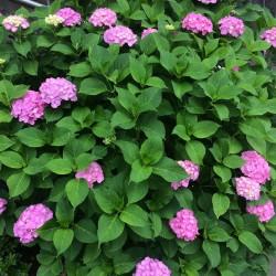 駒込駅付近の紫陽花